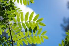 Молодой свежий зеленый цвет выходит против солнца и неба в древесины Стоковые Фотографии RF