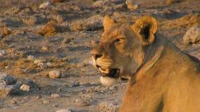 Молодой свет львицы имея остатки на времени захода солнца сток-видео