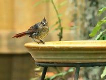 Молодой северный кардинал на birdbath задворк Стоковые Изображения RF