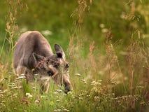 Молодой северный олень Стоковое фото RF