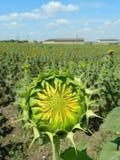Молодой солнцецвет в поле Стоковые Фотографии RF