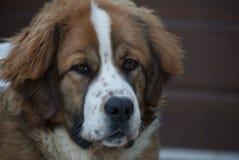 Молодой сторожевой пес Москвы Стоковое Фото
