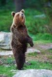 Молодой стоять бурого медведя Стоковое фото RF
