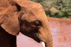 Молодой слон готовый для mudbath стоковое изображение rf