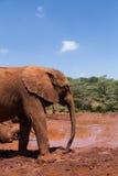 Молодой слон стоковые фото