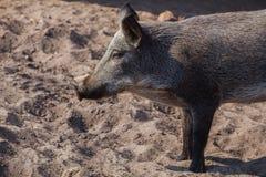 Молодой, темный шерстистый дикий кабан идя в свинарник в песке Стоковое фото RF