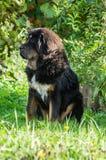 Молодой тибетский Mastiff Стоковое Изображение