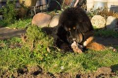 Молодой тибетский Mastiff Стоковые Изображения