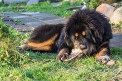 Молодой тибетский Mastiff Стоковое Фото