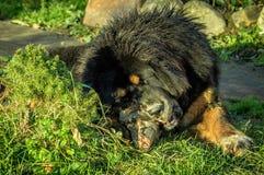 Молодой тибетский Mastiff Стоковое фото RF
