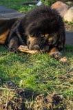 Молодой тибетский Mastiff Стоковая Фотография