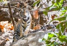 Молодой тигр Бенгалии в естественной среде обитания Стоковое Изображение RF