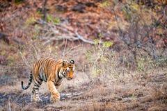 Молодой тигр Бенгалии в естественной среде обитания Стоковые Изображения RF