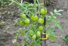 Молодой томат вишни на ветви Стоковая Фотография