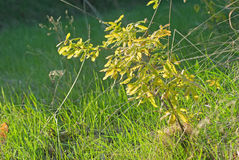 Молодой дуб весны в ущелье Стоковое Фото