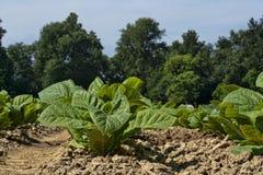 Молодой уровень земли заводов табака Стоковое фото RF