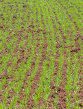 Молодой урожай стоковая фотография rf