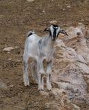 Молодой уроженец козы Majorera к Фуэртевентуре Стоковое Изображение RF