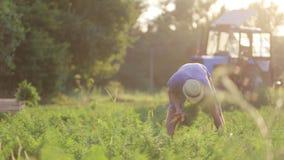 Молодой фермер в морковах рудоразборки шляпы на поле органической фермы видеоматериал