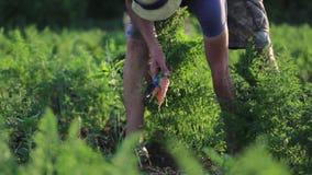 Молодой фермер в морковах рудоразборки шляпы на поле органической фермы сток-видео