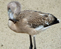 Молодой фламинго Стоковая Фотография RF