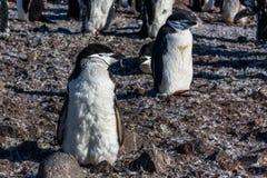 Молодой цыпленок пингвина chinstrap стоя среди его членов колонии Стоковые Фото