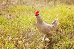 Молодой цыпленок Bantam Стоковое Изображение RF
