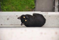 Молодой черный кот избегал от комнаты и сидеть снаружи на силле окна многоквартирного дома и смотреть вверх и вокруг Стоковое Изображение RF