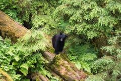 Молодой черный медведь в тропическом лесе стоковое изображение