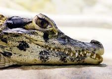Молодой черный caiman (Melanosuchus Нигер) Стоковые Изображения RF