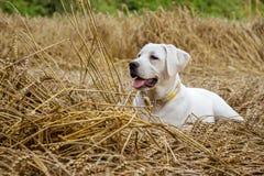 Молодой чистоплеменный щенок собаки labrador лежа в поле на соломе пока солнце светит Стоковые Фотографии RF