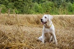Молодой чистоплеменный щенок собаки labrador лежа в поле на соломе пока солнце светит Стоковая Фотография
