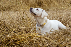 Молодой чистоплеменный щенок собаки labrador лежа в поле на соломе пока солнце светит Стоковые Фото