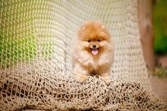 Молодой шпиц щенка смотрит камеру Стоковые Фотографии RF