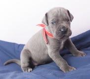 Молодой щенок большого датчанина Стоковые Фото