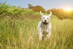 Молодой щенок собаки labrador бежать с смешной стороной Стоковое Изображение