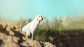 Молодой щенок собаки retriever labrador на холме Стоковые Фото