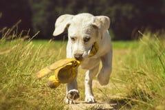 Молодой щенок labrador собаки играя с игрушкой и бегами Стоковое Изображение