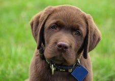 Молодой щенок retriever labrador Стоковые Фотографии RF