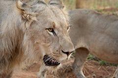 Молодой ювенильный мужской лев Стоковые Изображения