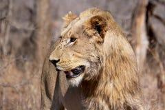 Молодой ювенильный мужской лев стоковое фото