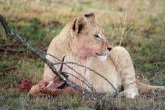 Молодой ювенильный мужской лев стоковое изображение rf