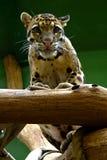 Молодой ягуар, дружелюбные животные на зоопарке Праги Стоковое фото RF
