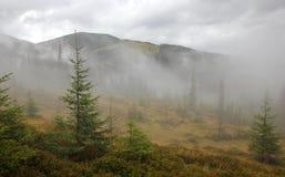 Молодой coniferous лес в тумане Стоковые Фотографии RF