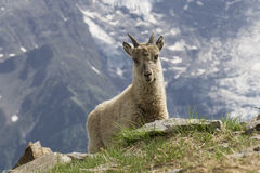 Молодой ibex в горах alps французские Стоковое фото RF