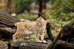 Молодой lynx Стоковые Изображения