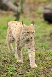 Молодой lynx Стоковые Фотографии RF