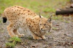 Молодой lynx Стоковое Изображение