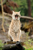 Молодой lynx Стоковая Фотография RF