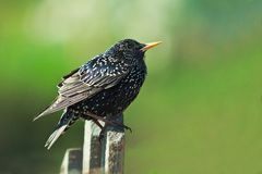 Молодой Starling на загородке сада Стоковая Фотография RF